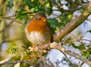 Robin courtesy Derek Tippetts