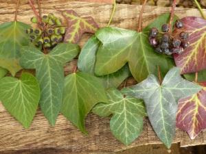 Variety of ivy