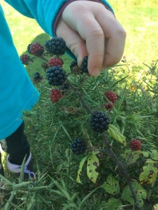 A keen blackberry forager!
