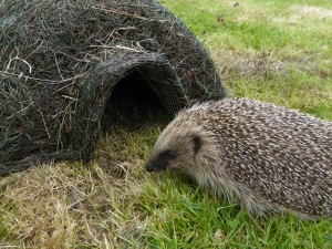 'Merlin' - a rescued hedgehog checking out a hogitat house