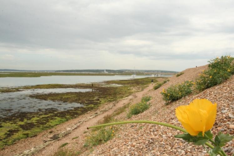 yellow-horned-poppy-at-hurst-2339
