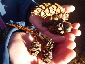 Cones in hand: Douglas fir, Western hemlock, Coast redwood
