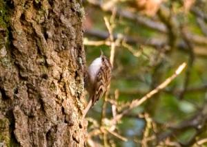 Spot the treecreeper