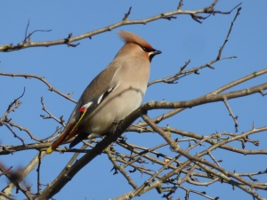 A late winter visitor - a waxwing