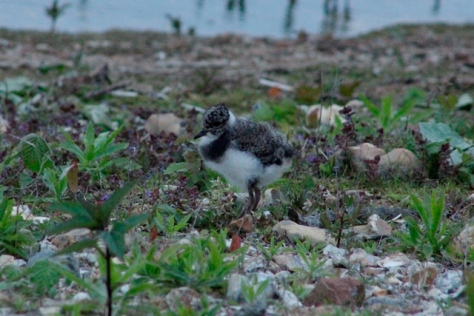 Lapwing chick by Talia Felstead resized
